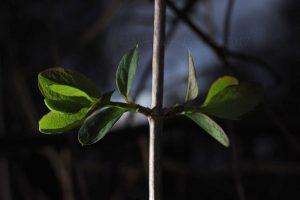lonicera honeysuckle leaves emerging